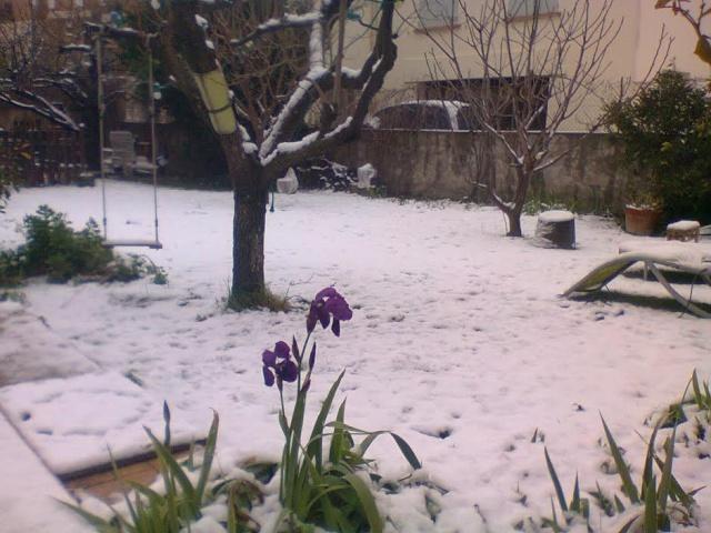 Déjà des fleurs... Iris_s11
