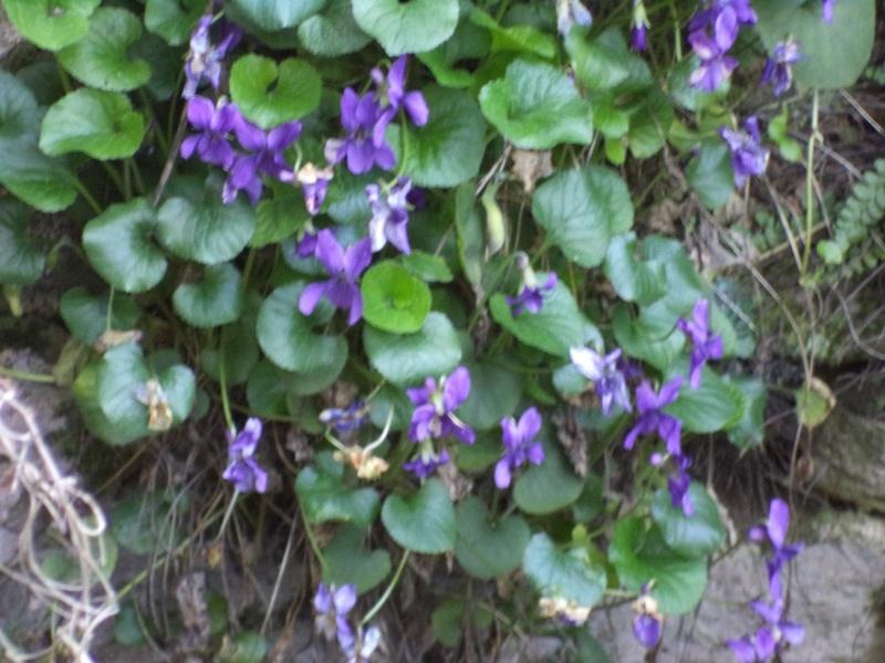 des violettes Dsc00650