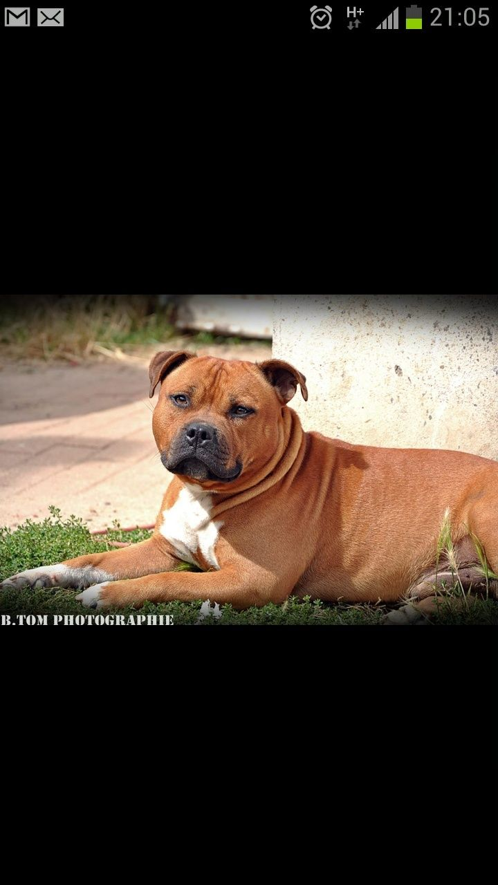 pit-bull 80 kg Screen12