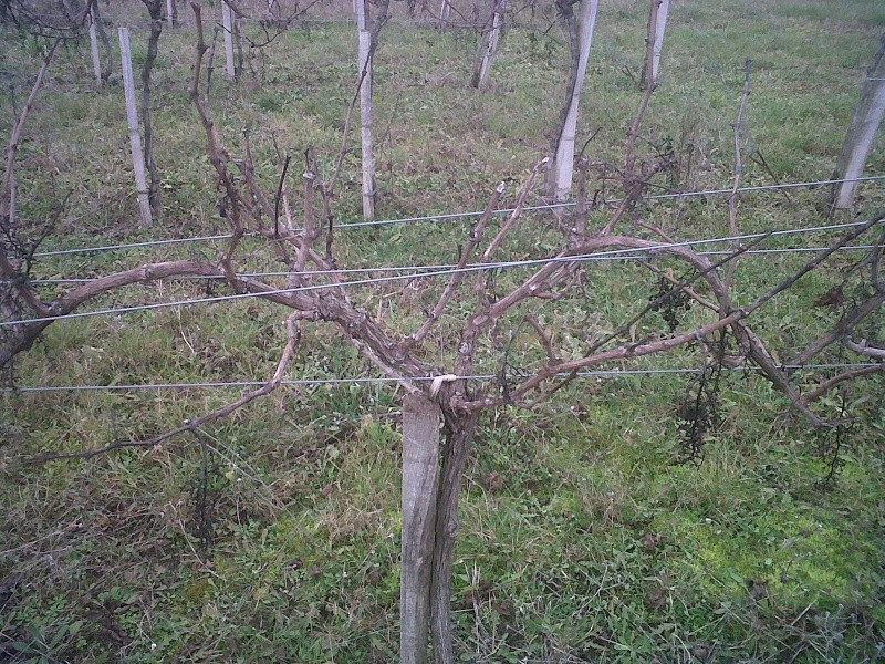 recépage vigne haute Img00210
