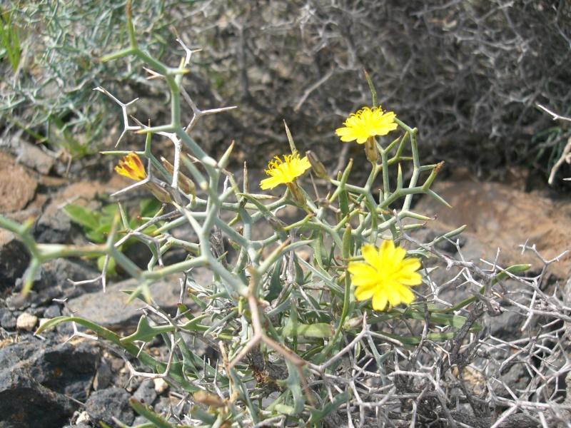"""Cichorioideae - """"Zungenblütler"""" .. eine recht umfangreiche Unterfamilie der Korbblütler - Seite 3 Cimg7312"""
