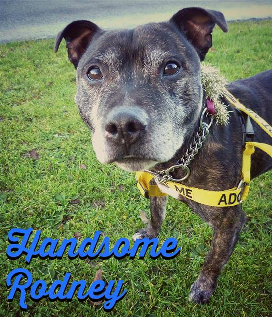 Rodney 10 year SBT Kenneled Worcester needs a home Rodney11