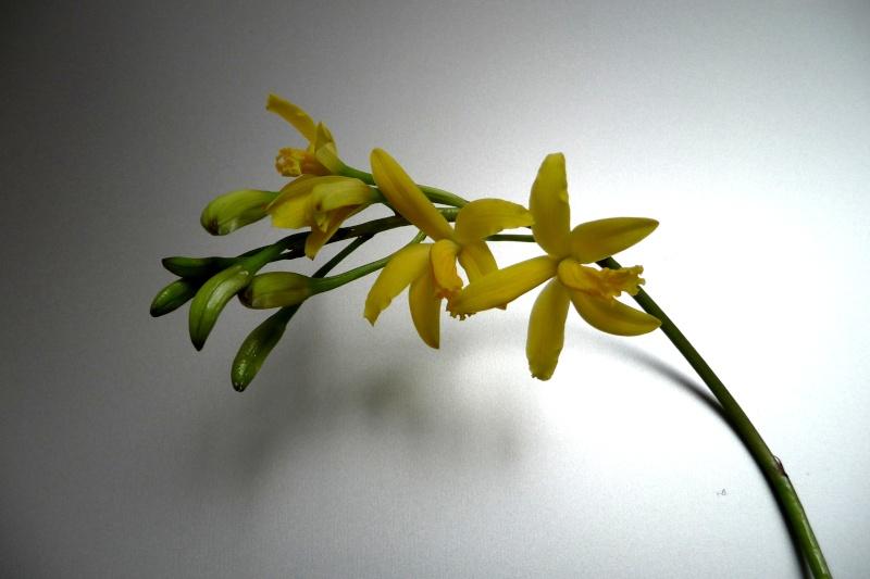 Laelia flava/Cattleya crispata Laelia10