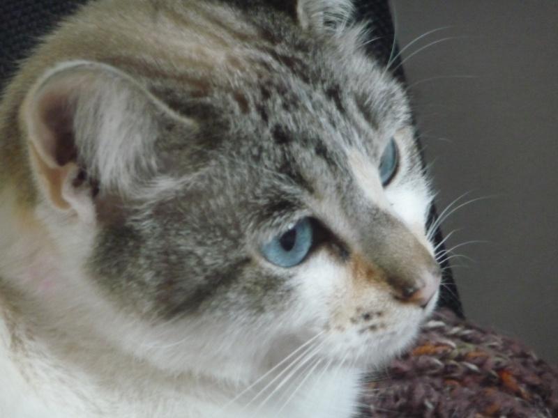 Heïdi, femelle type européenne x siamoise estimée née 01/06/2012 - Page 2 P1120011