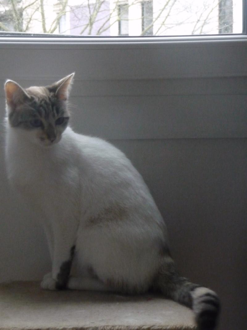 Heïdi, femelle type européenne x siamoise estimée née 01/06/2012 - Page 2 P1120012