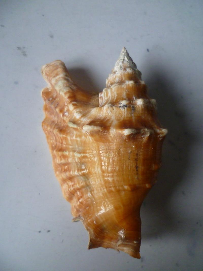 Strombidae Tricornis oldi - (Emerson, 1965)  P1160510