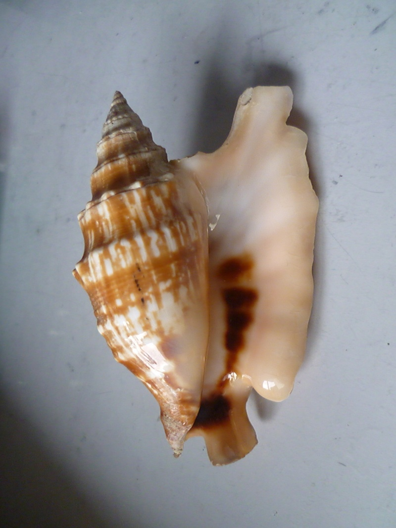Strombidae Tricornis oldi - (Emerson, 1965)  P1160511