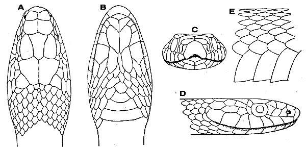 [Fiche] Coluber constrictor priapus 600x2810