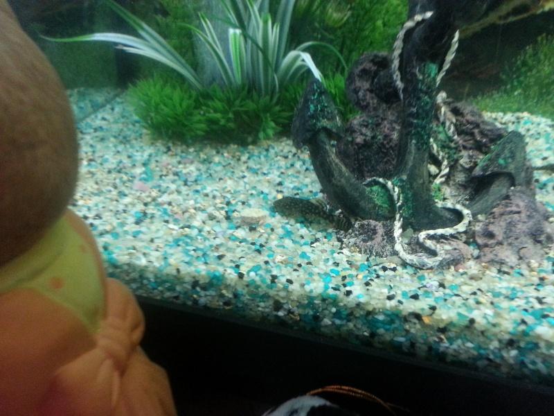 Mon aquarium avec betta et guppy 20141110