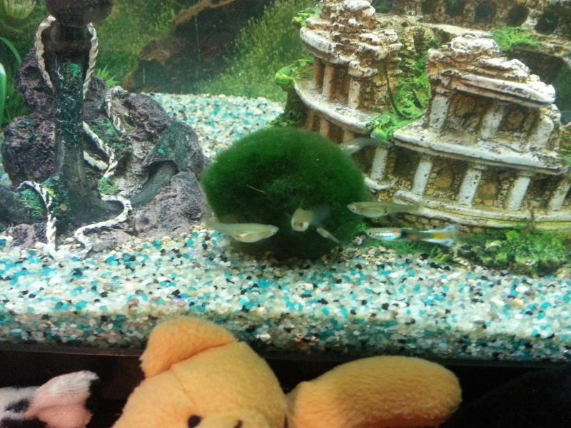 Mon aquarium avec betta et guppy 20141210