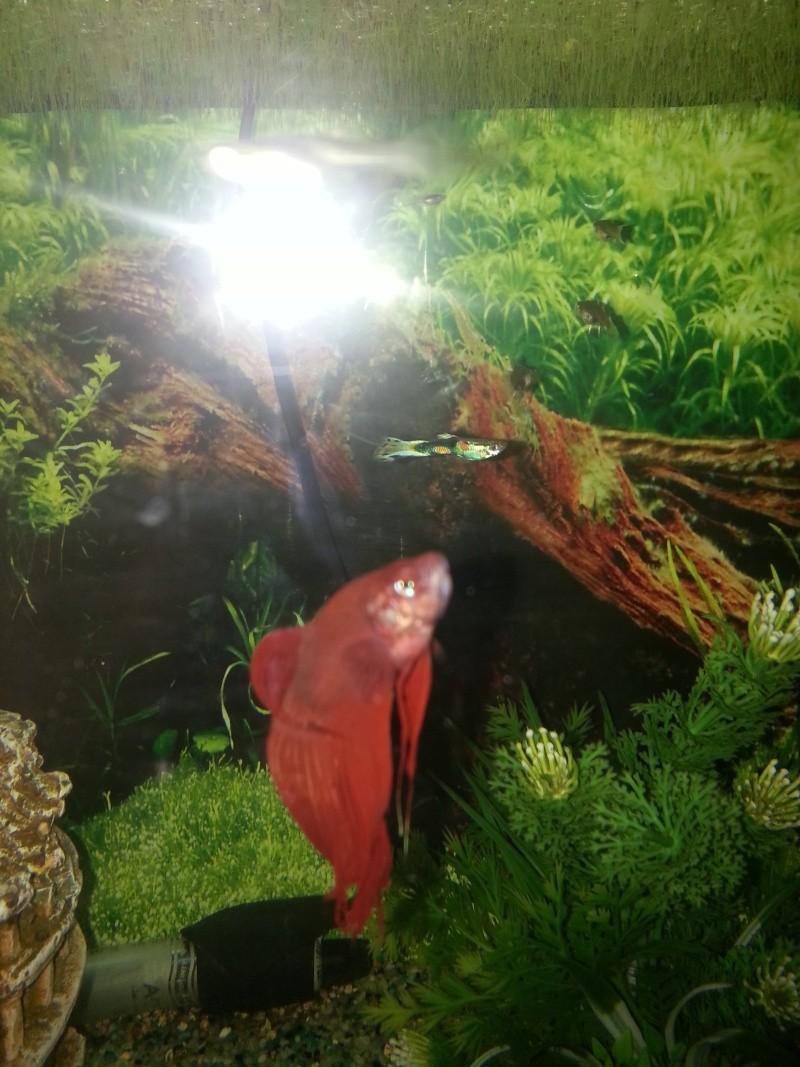 Mon aquarium avec betta et guppy 20141211