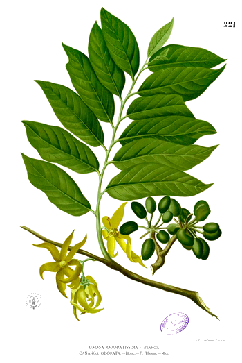 Huile essentielle d'ylang-ylang 000_0171
