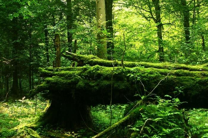 Pologne/Bielorussie  -  Forêt de Białowieża 000_1622