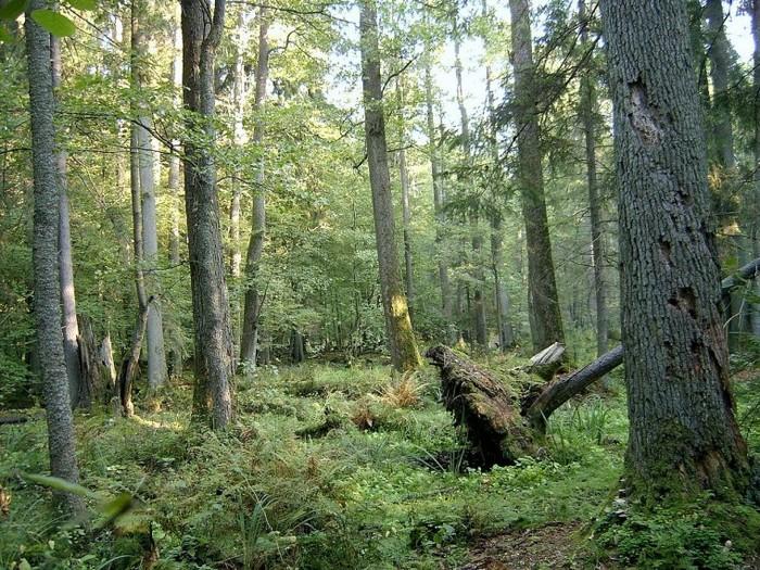 Pologne/Bielorussie  -  Forêt de Białowieża 000_1625