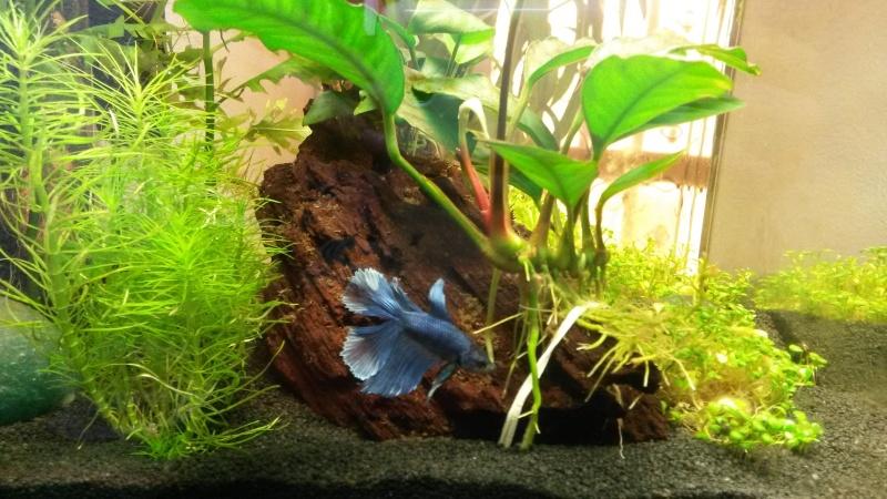 2 ème aquarium : nano 30 litres Combat10