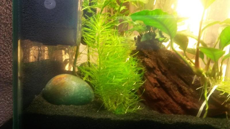 2 ème aquarium : nano 30 litres Pogost10
