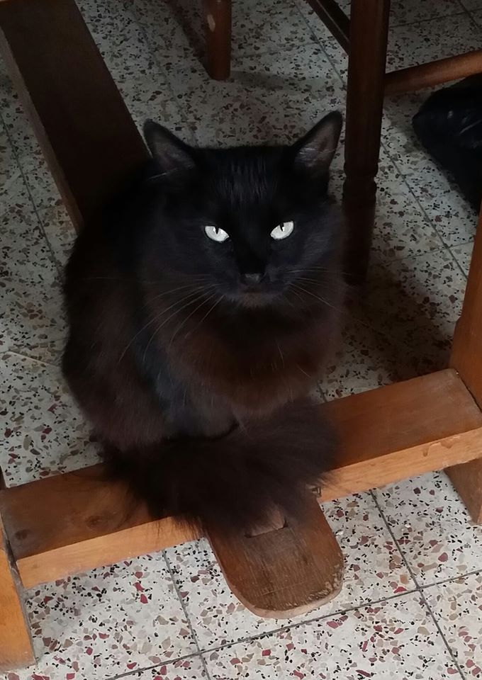 Iloa - superbe minette angora noire (80) Adoptée :) 10498510