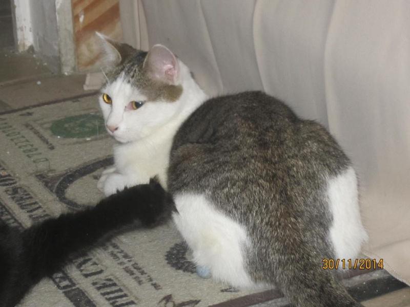Perlie, tabby et blanche née en Mars 2014, sauvageonne 10881310