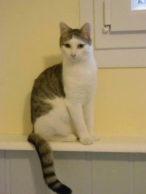 Perlie, tabby et blanche née en Mars 2014, sauvageonne 10887710
