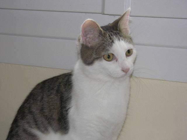 Perlie, tabby et blanche née en Mars 2014, sauvageonne 10912910