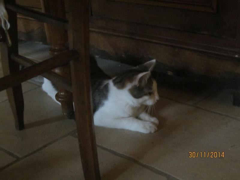 Perlie, tabby et blanche née en Mars 2014, sauvageonne 10913110