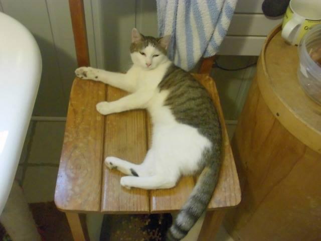 Perlie, tabby et blanche née en Mars 2014, sauvageonne 10928010