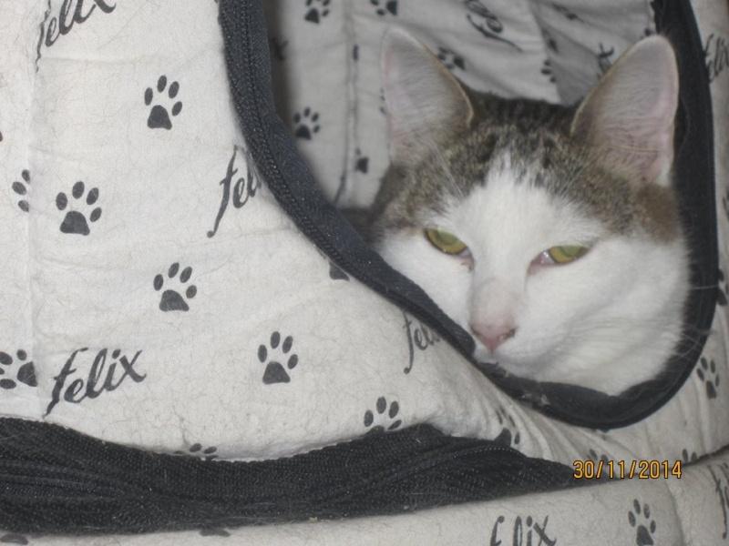 Perlie, tabby et blanche née en Mars 2014, sauvageonne 10934410