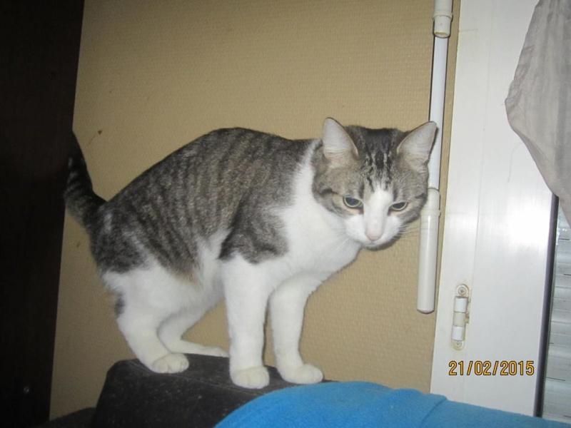Patronus, tabby et blanc né en 2012 10994710