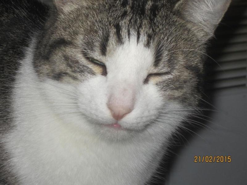 Patronus, tabby et blanc né en 2012 10994711