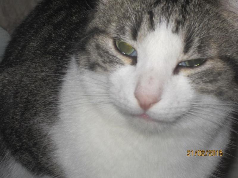 Patronus, tabby et blanc né en 2012 10997111