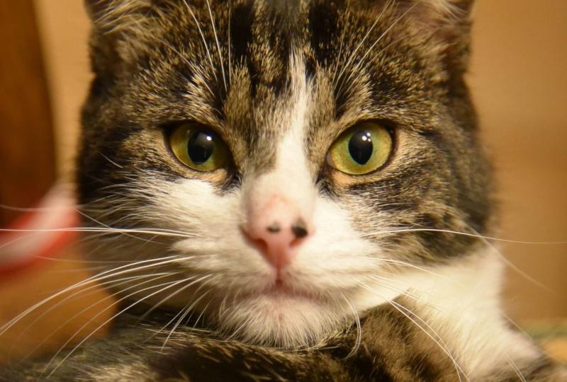 Papillon - Adorable chatonne mimi et coquine tabby et blanche 11021410