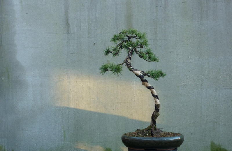 I need help with identification of a pine Pinus_10