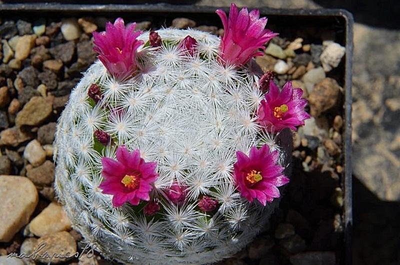 Unterschiedliche Formen von Mammillaria humboldtii 10409110