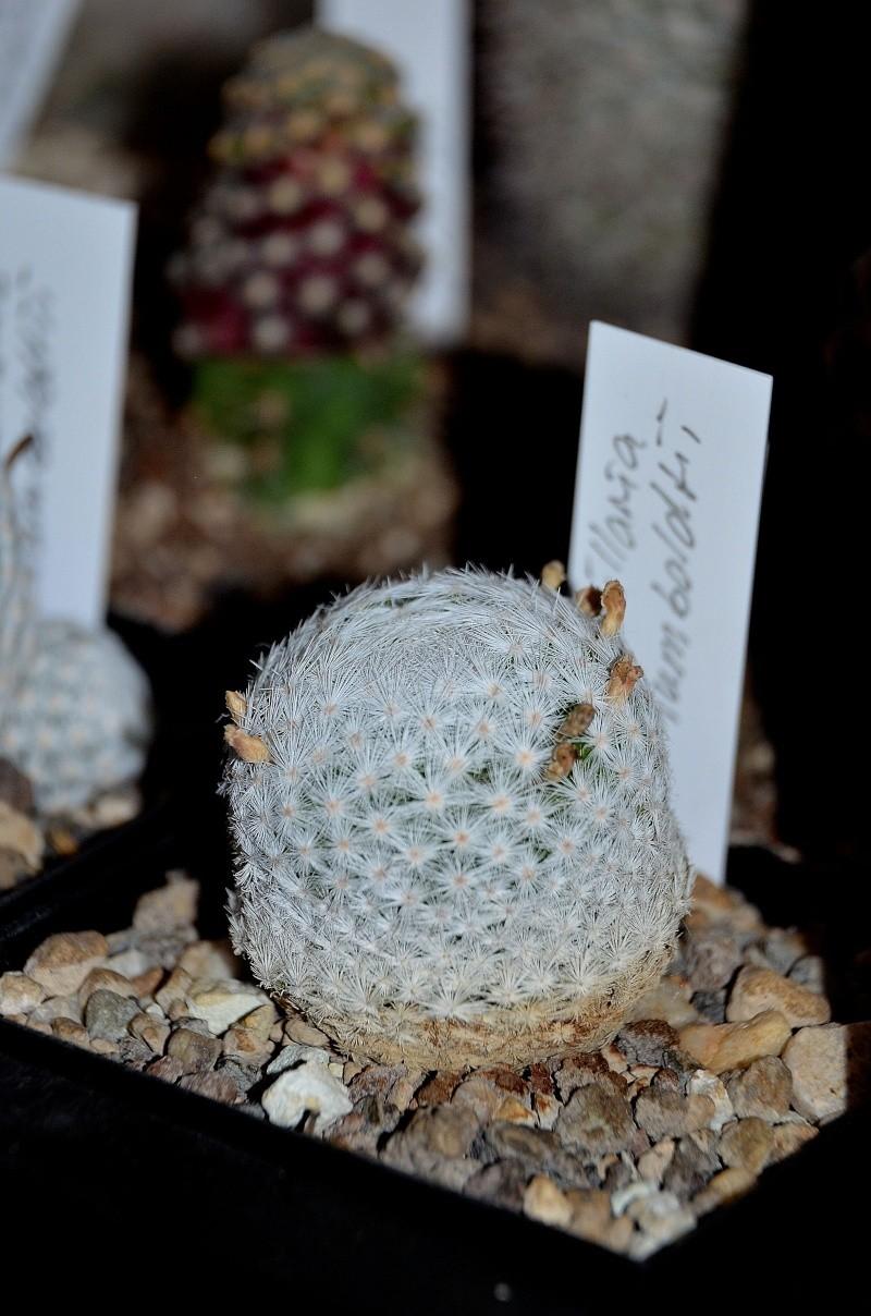 Unterschiedliche Formen von Mammillaria humboldtii Dsc_5411