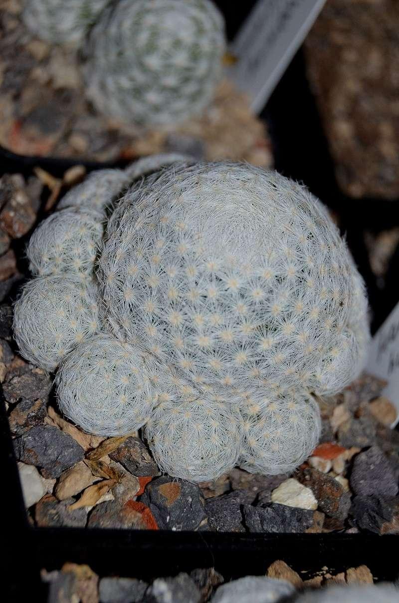 Unterschiedliche Formen von Mammillaria humboldtii Dsc_5412