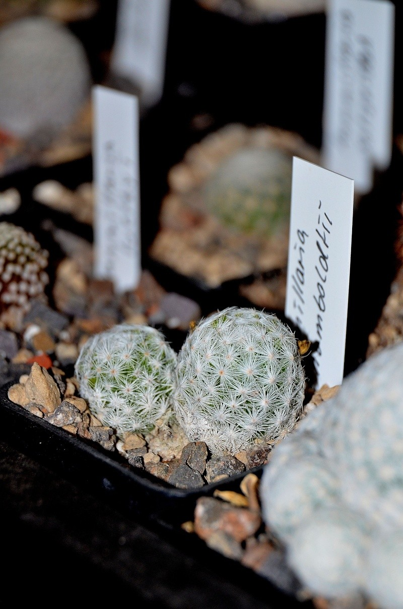 Unterschiedliche Formen von Mammillaria humboldtii Dsc_5413