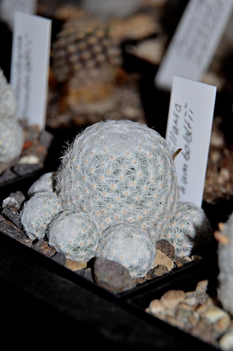 Unterschiedliche Formen von Mammillaria humboldtii Dsc_5414