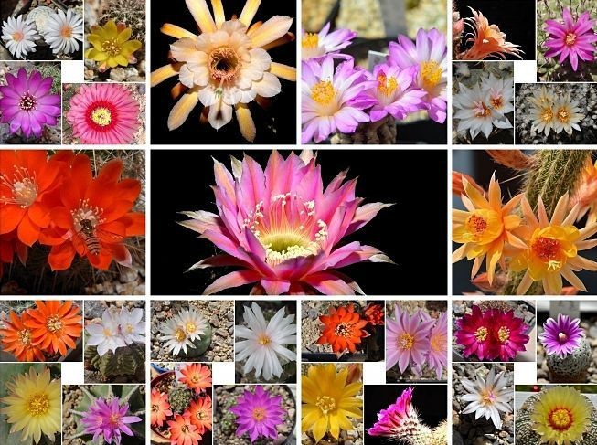Collagen nach Gattungen Sulcorebutia,Echinopsenhybriden,Astrophyten,Querbeet Meine_10
