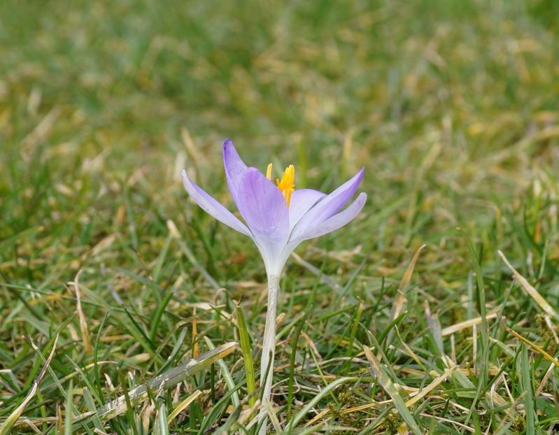 Schwertliliengewächse: Iris, Tigrida, Ixia, Sparaxis, Crocus, Freesia, Montbretie u.v.m. - Seite 4 00730