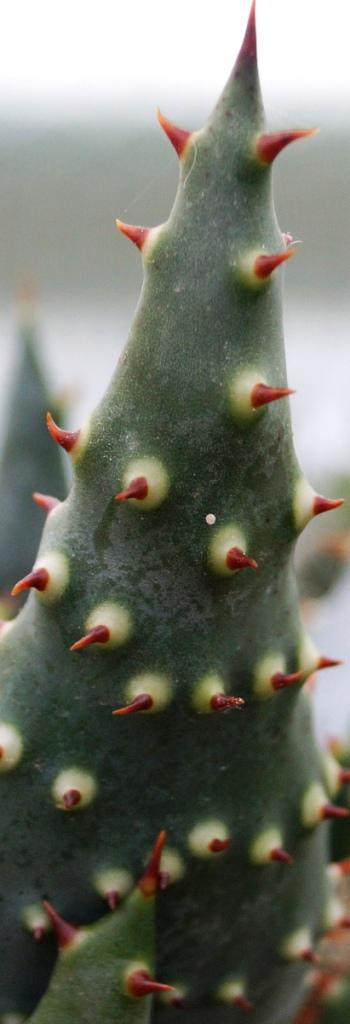 Aloe ferox 00911