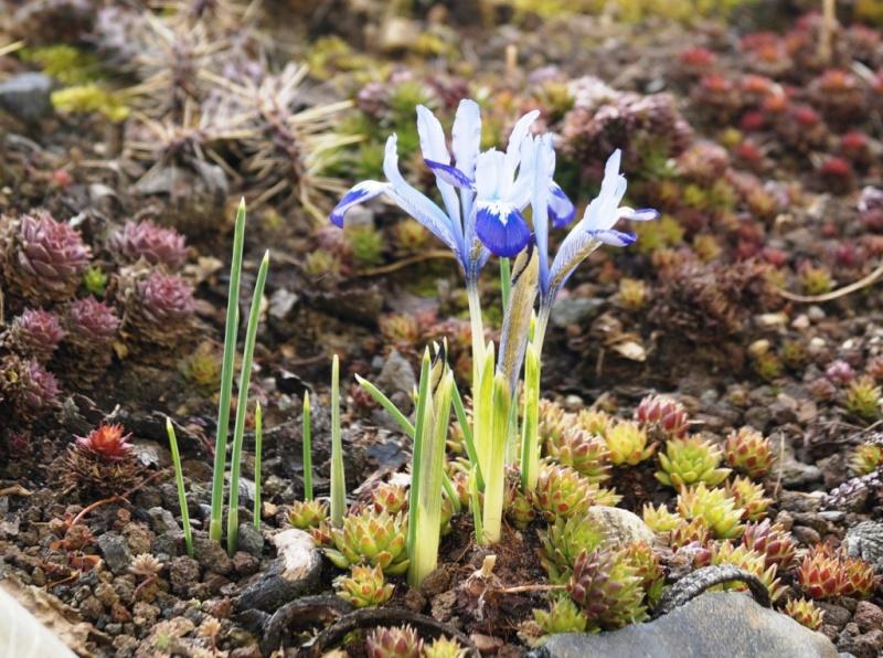 Schwertliliengewächse: Iris, Tigrida, Ixia, Sparaxis, Crocus, Freesia, Montbretie u.v.m. - Seite 4 01613