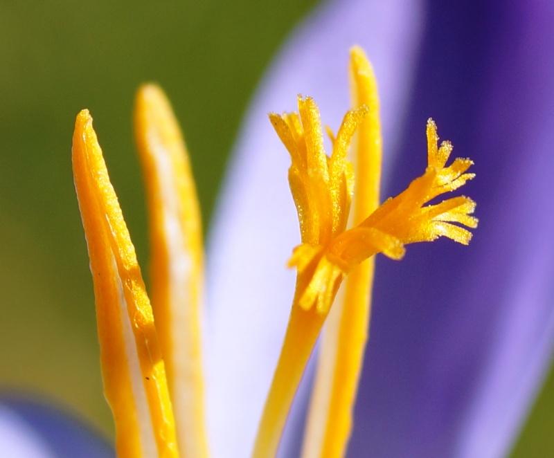 Schwertliliengewächse: Iris, Tigrida, Ixia, Sparaxis, Crocus, Freesia, Montbretie u.v.m. - Seite 4 01919
