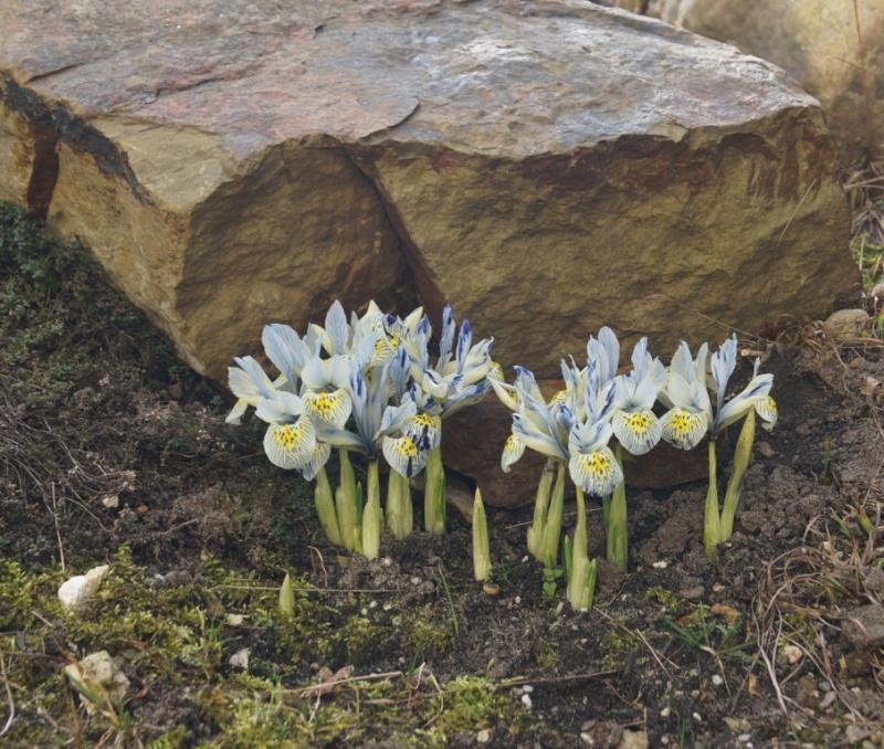 Schwertliliengewächse: Iris, Tigrida, Ixia, Sparaxis, Crocus, Freesia, Montbretie u.v.m. - Seite 4 02015