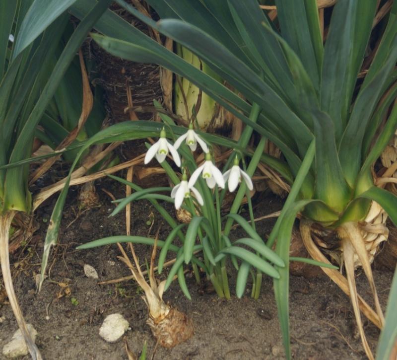 Schwertliliengewächse: Iris, Tigrida, Ixia, Sparaxis, Crocus, Freesia, Montbretie u.v.m. - Seite 4 02318