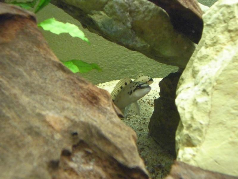 "Chalinochromis sp. ""ndobhoi"" Cimg1611"