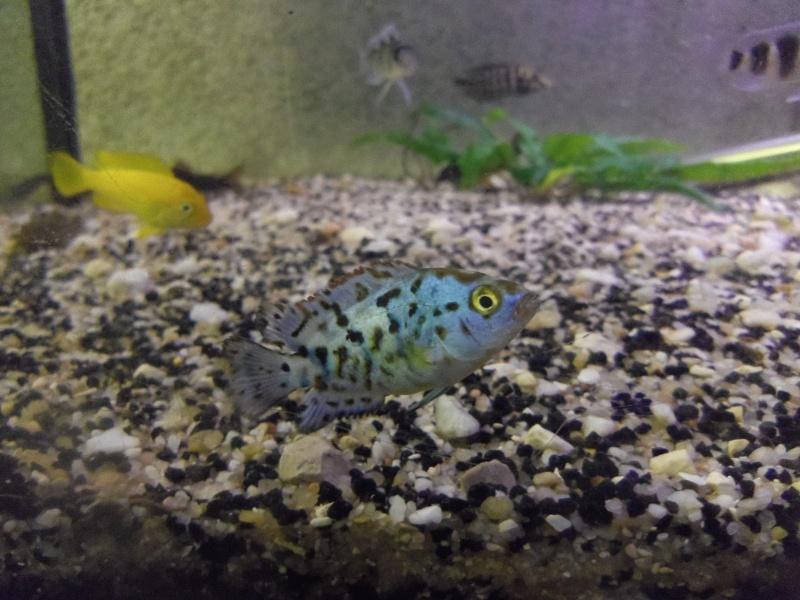 Roccio octofasciatum blue jack dempsey Imgp1717