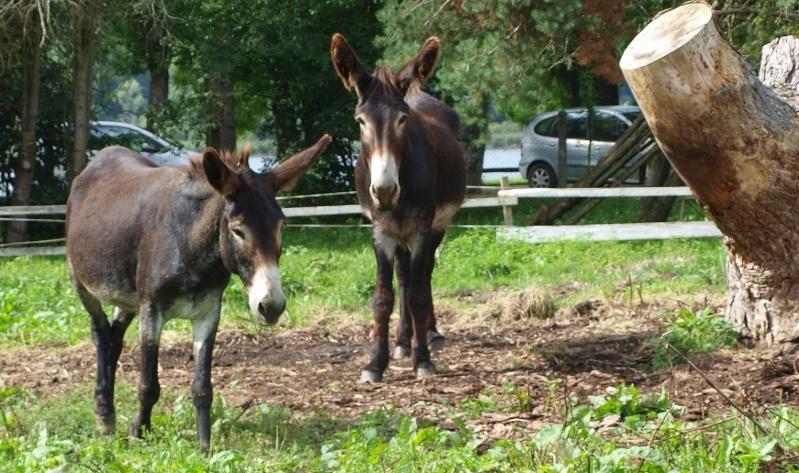 cheval - différence âne/cheval Kandji12