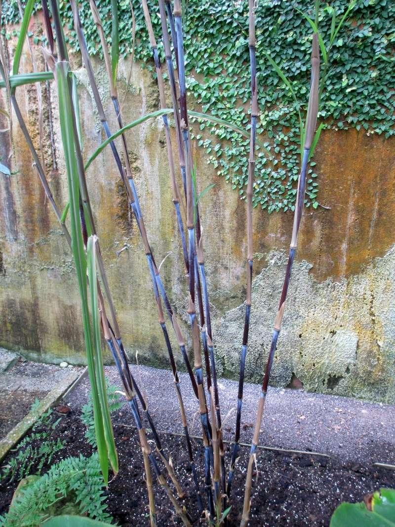 Bambus - Kultur, Aussaat, Pflege, Diskussion und Bilder von Bambusa und Fargesia - Seite 4 Img_2641