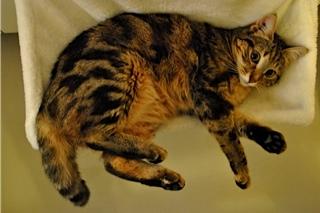 Tchad, femelle type européenne tabby marbrée née le 10/04/2014 _dsc0017