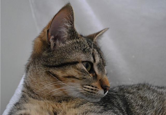 Janet, femelle type européenne tigrée, née le 15 juin 2014 - Page 5 _dsc0033